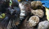 Motivul INCREDIBIL pentru care opt pui de arici au fost adoptați de o pisică I VIDEO