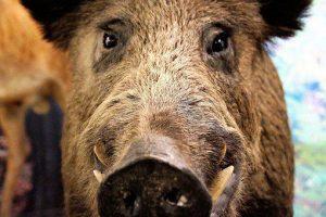 Accident teribil provocat de un porc mistreț! Unde a avut loc evenimentul imprevizibil