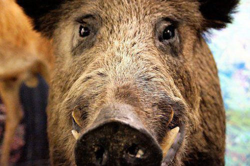 Scene INCREDIBILE în Sălaj. Un porc mistreț a atacat două persoane