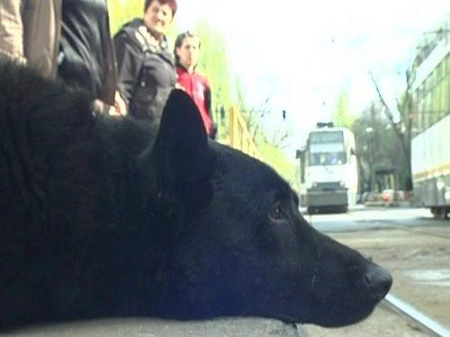 Hachiko din tramvaiul 41! Povestea lui îți va sfâșia inima!