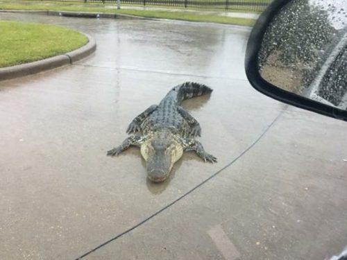 Aligatorii crescuți în captivitate ar putea evada în urma inundațiilor din Texas