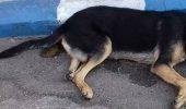 Cadavrele câinilor otrăviți au umplut străzile din Gorj! Cetățenii din Rovinari sunt șocati și traumatizați de astfel de imagini I Atenţie, imagini cu puternic impact emoţional!