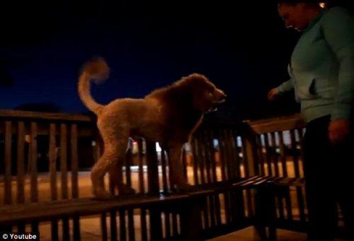 Un câine a provocat panică în SUA după ce a fost confundat cu un leu! Vezi cum s-a putut întâmpla așa ceva