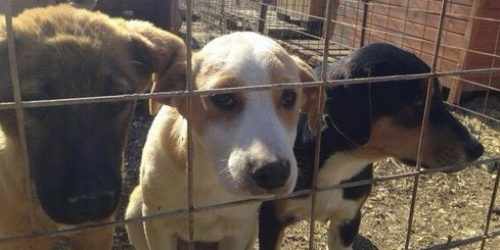 Decizie luată de un primar după ce medicii veterinari AU REFUZAT să eutanasieze câinii bolnavi și agresivi
