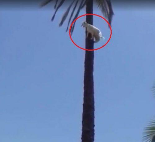 Cum a reușit o CAPRĂ să se cațere în vârful unui palmier? Greu de imaginat! VIDEO
