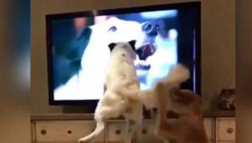 Ce fac doi CĂȚEI HAIOȘI atunci când își văd stăpâna la TV I VIDEO