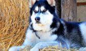 Motiv ÎNGRIJORĂTOR pentru care un actor din serialul Game of Thrones roagă fanii să nu mai cumpere câini husky