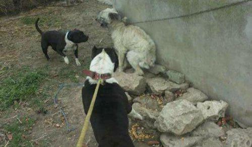Apelul DISPERATal unei tinere pentru IDENTIFICAREA şi PEDEPSIREA unui bărbat care organizează lupte ilegale de câini! Îşi antrenează câinii cu maidanezi pe care îi OMOARĂ!