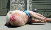 Și-a dorit un porcuşor vietnamez, dar s-a ales cu un GIGANT, în loc de un gingaş animal de COMPANIE