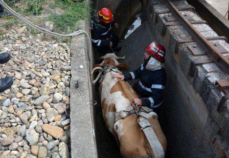 Mobilizare generală pentru SALVAREA unei vaci blocate într-un canal. Internauții au rămas uimiți