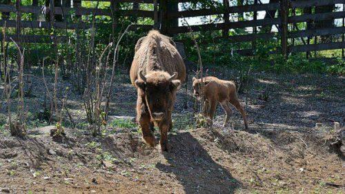 S-a născut Romarta, primul pui de zimbru de la zoo Hunedoara