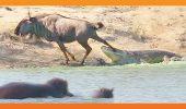 SPECTACOLUL copleșitor al NATURII! Uite cum a fost salvată o antilopă din colţii unui CROCODIL I VIDEO