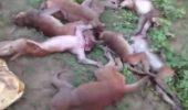 INCIDENT BIZAR! Povestea INCREDIBILĂ a unor animale care au murit, toate în același timp, după ce au făcut ATAC DE CORD! Ce le-a  I VIDEO