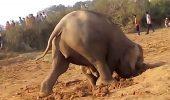 Video emoționant! O femelă elefant a uimit planeta după ce a săpat 11 ore în pământ