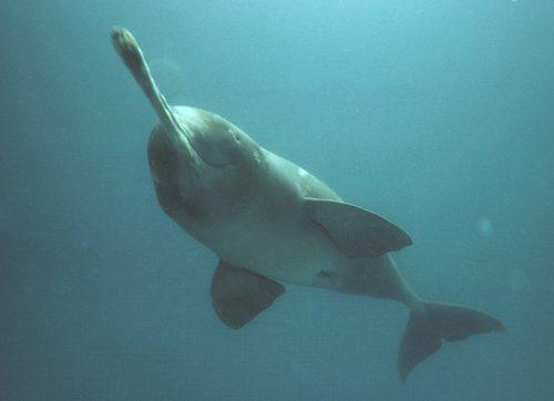 Plataniste or ganges river dolphin (platanista gangética), Karnaphuli river, Bangladesh