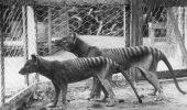 A existat cu ADEVĂRAT tigrul tasmanian? Misteriosul marsupial, între legendă și realitate