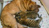 Atenție! Cele mai NEOBIȘNUITE adopții între animale! GALERIE FOTO