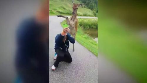 Bambi cel AGRESIV atacă turiștii din Slovenia. Așa TUPEU n-ai mai VĂZUT