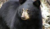 Vânătorul a devenit vânat! Un urs a atacat un vânător de cerbi