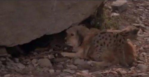 Video viral! Cățelul care a salvat trei pui de leopard de un lup