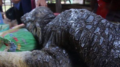 Un animal HIBRID a speriat sătenii. CREATURA este o combinaţie între crocodil şi un bivol | VIDEO