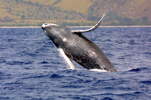 Mobilizare URIAȘĂ în Australia, pentru EXHUMAREA unei balene de pe o plajă populată