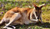 CANGURII au depășit numeric oamenii, în AUSTRALIA