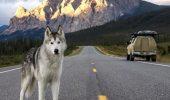 LOKI, câinele lup care străbate lumea