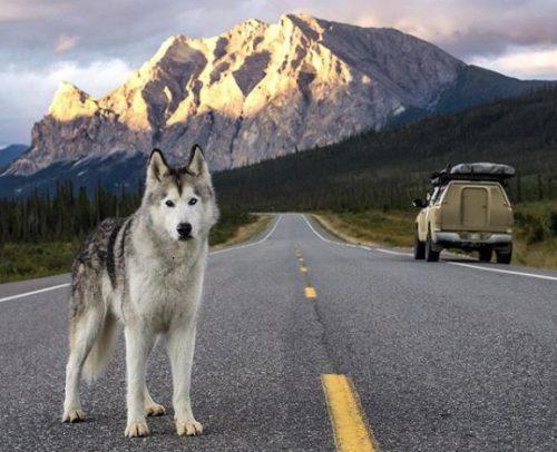 INCREDIBIL! LOKI, câinele lup care străbate lumea