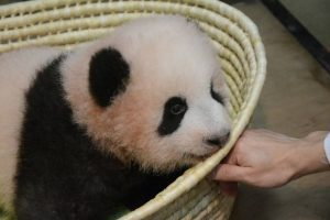 """Publicul a decis! Puiul de panda gigant a fost botezat. Sute de mii de oameni au participat la acțiunea """"Alege numele"""""""