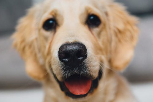 De ce latră câinii la mașini?