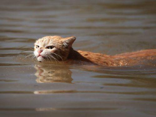 A cucerit internetul. Pisoiul înotător bate recordurile pe Twitter!