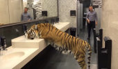 Ce SE ÎNTÂMPLĂ când o TIGROAICĂ intră în toaleta bărbaților, undeva în Moscova! I VIDEO