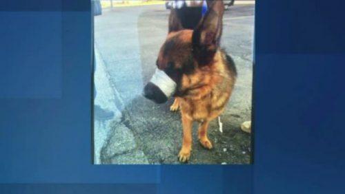 Vă mai amintiți de GAIA, câinele MUTILAT pe străzile din Capitală? Cum arată patrupedul după șapte luni