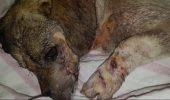 A fost măcelarit la propriu cu un topor. Povestea câinelui mutilat i-a uimit pe români. Cum arată acum animalul