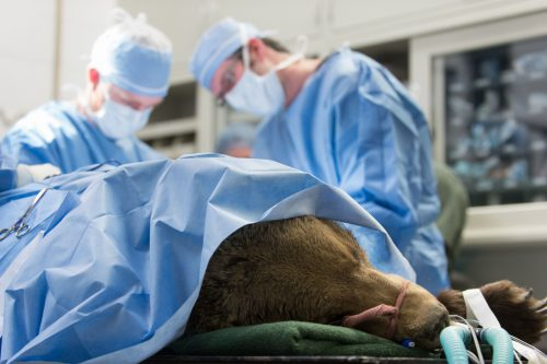 Colorado State Veterinarians, perform surgery on Marley, a grizzly bear with a broken ulna. She was brought in by the Wild Animal Sanctuary in Keenesburg, Colorado. February 18, 2014