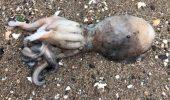 Fenomen MISTERIOS! Zeci de caracatițe se târăsc pe uscat / VIDEO