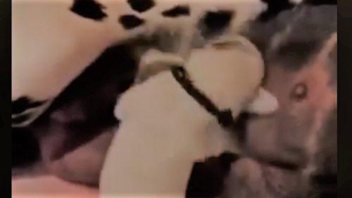 VIDEO: Cel mai amuzant clip pe care îl vei vedea astăzi! Uite ce face acest pui de dalmațian