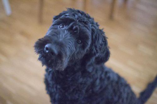 De ce îşi înclină câinii capul când le vorbim? EXPLICAȚIA SPECIALIȘTILOR te va UIMI I VIDEO