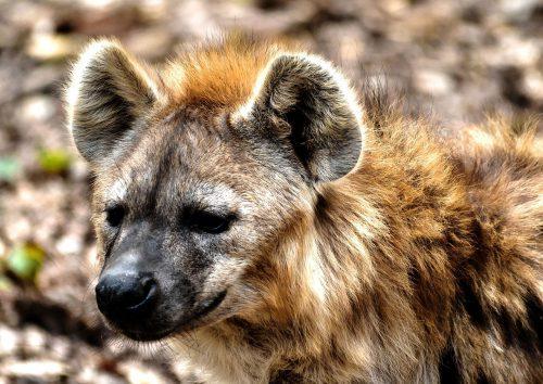 Hienă ATACATĂ de un babuin! Acestea sunt cele mai șocante imagini surprinse de un băărbat