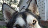 Prietenia care rupe orice barieră! Un Husky și-a ales singur prietenul dintr-un adăpost / Galerie foto