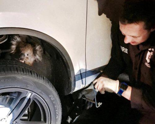 Cum a supraviețuit un koala după ce a mers 16 km agăţat sub o mașină