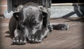 De ce se ÎMBOLNĂVESC câinii, în funcție de rasa din care fac parte! Iată care sunt BOLILE SPECIFICE celor mai cunoscute CINCI rase