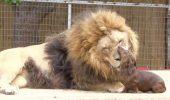 Legătura EMOŢIONANTĂ dintre un LEU şi un CÂINE! Povestea lor este COPLEȘITOARE