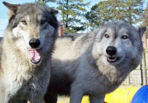 Studiu inedit! Modul în care s-a produs domesticirea câinilor între două gene