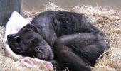 IMAGINI EMOȚIONANTE cu ULTIMELE CLIPE din viața unui cimpanzeu