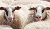 INCREDIBIL, DAR ADEVĂRAT! Ce au făcut polițiștii cu 35 de oi. Cum a fost posibil așa ceva?