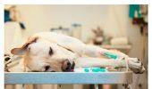 Șocul anafilactic la animalele de companie, o urgență medicală?