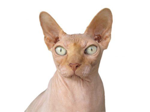 Top 5 cele mai AFECTOASE RASE de pisici