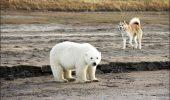 Impresionanta operațiune de salvare a unui urs polar după ce s-a rătăcit de mama lui